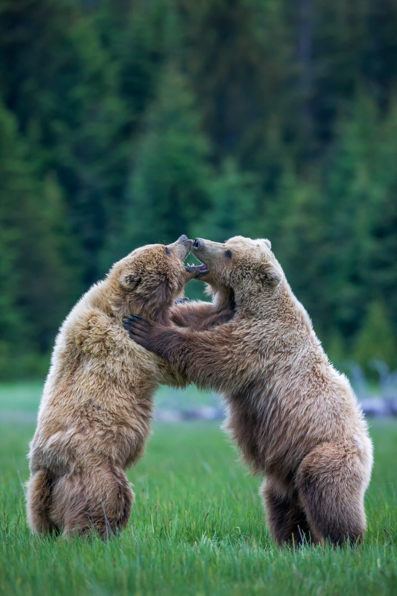 Bear, Brown Bear, Grizzly Bear, Alaska, limited edition, photograph, fine art, wildlife, photo