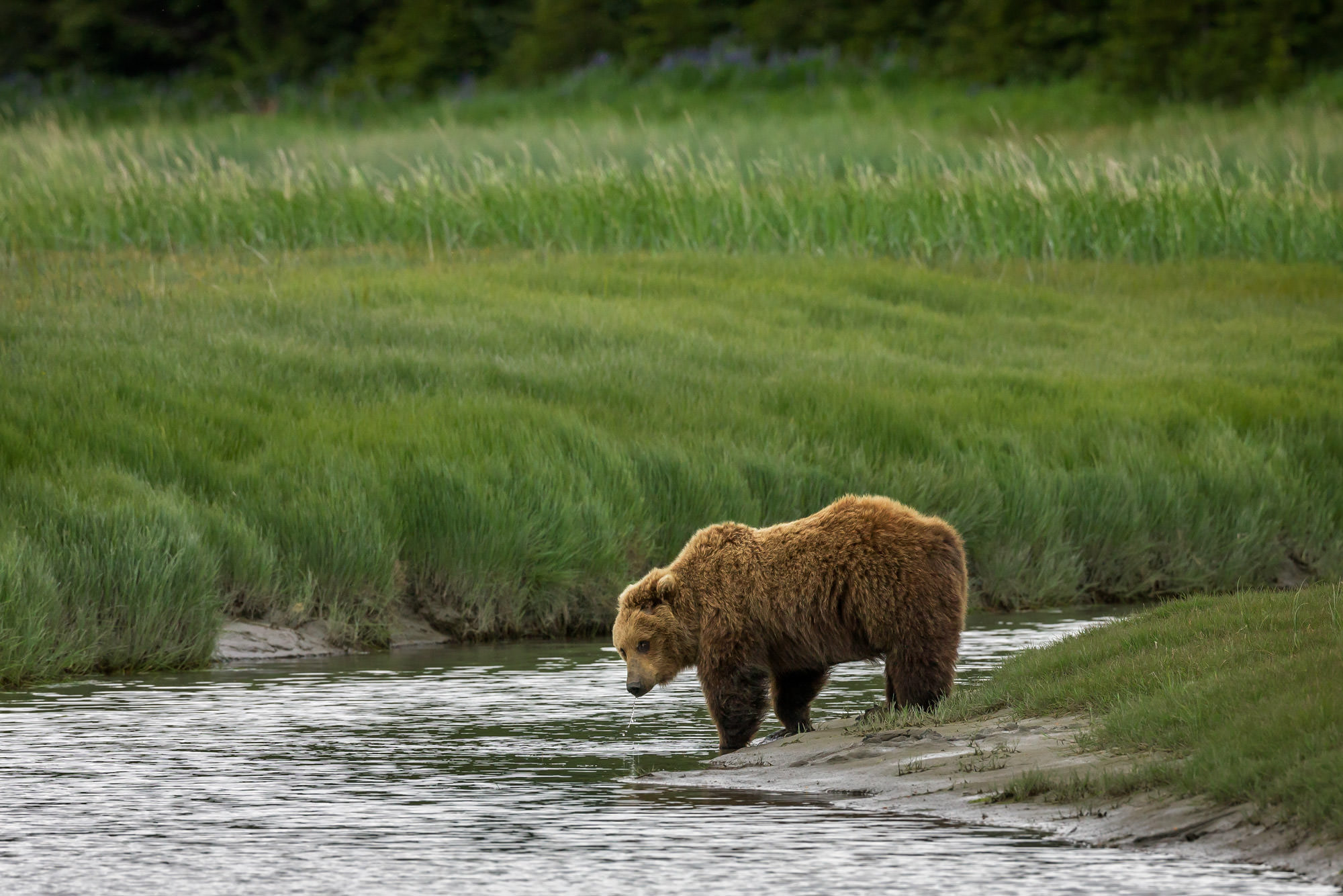 Bear, Brown Bear, Grizzly Bear, Alaska, photo