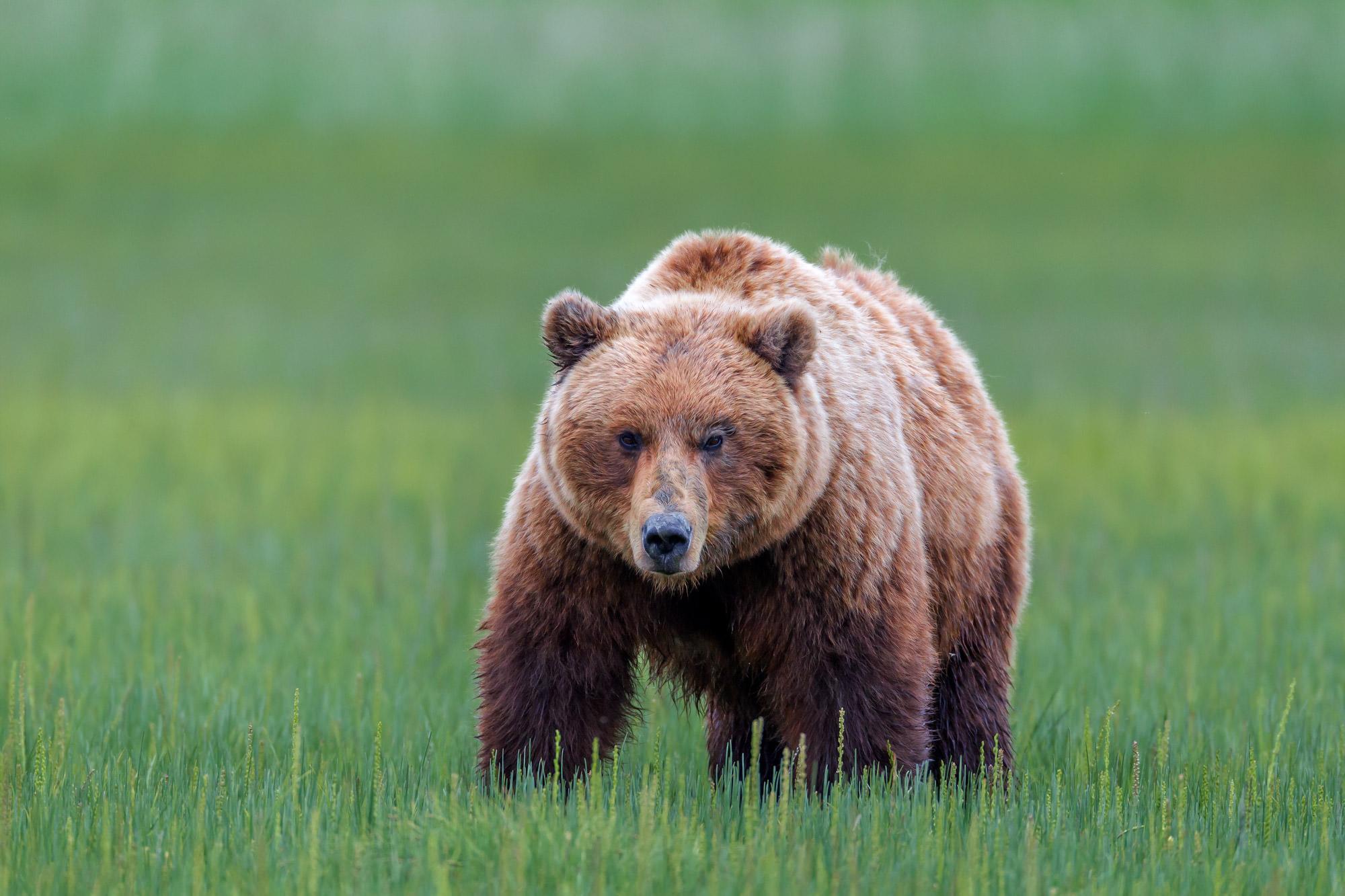 Bear, Brown Bear, Grizzly Bear, Alaska, photo