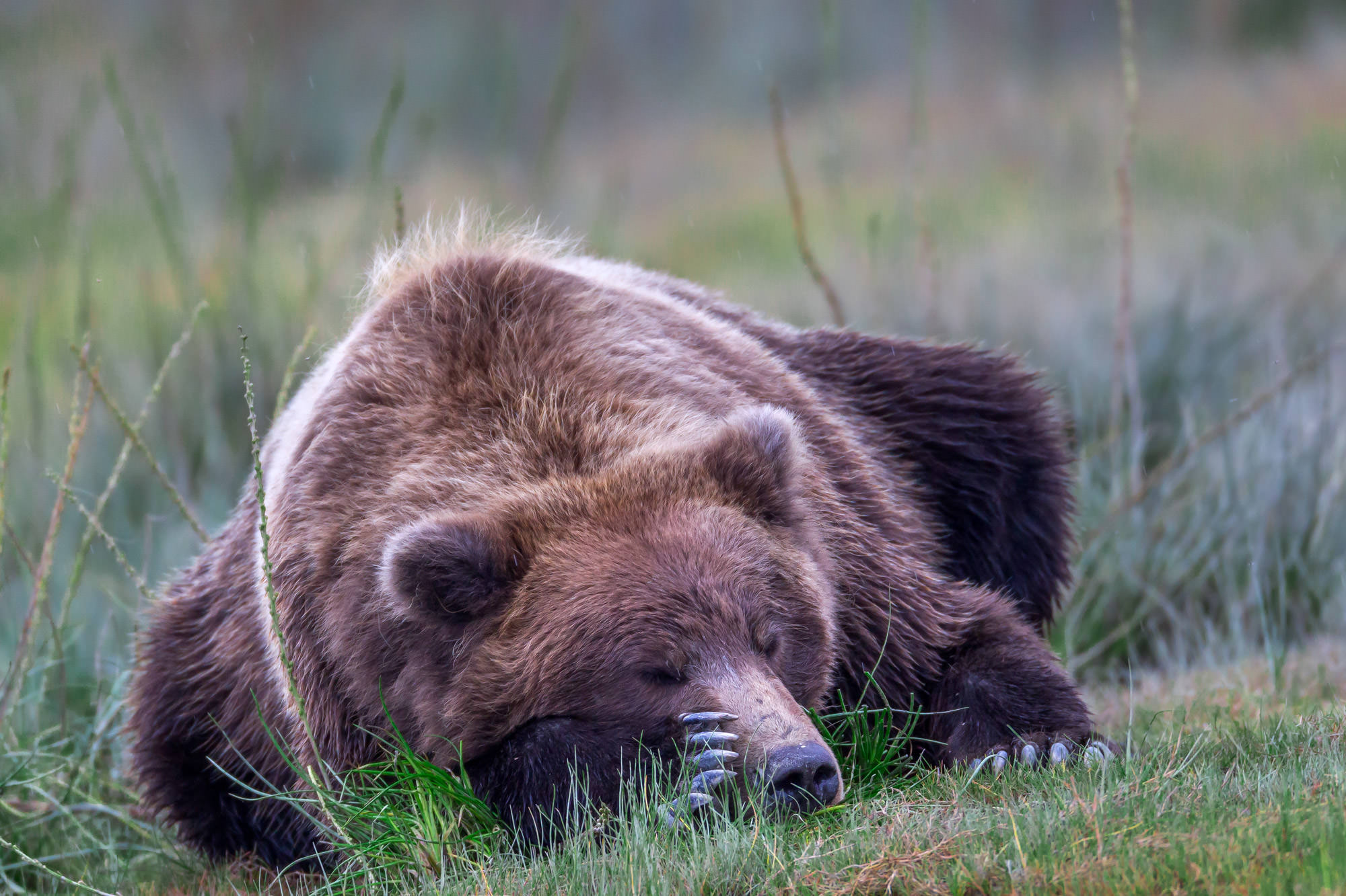 Grizzly Bear Fine Art Photography A Limited Edition photograph of a Grizzly Bear having a little nap time in the grass at Lake...