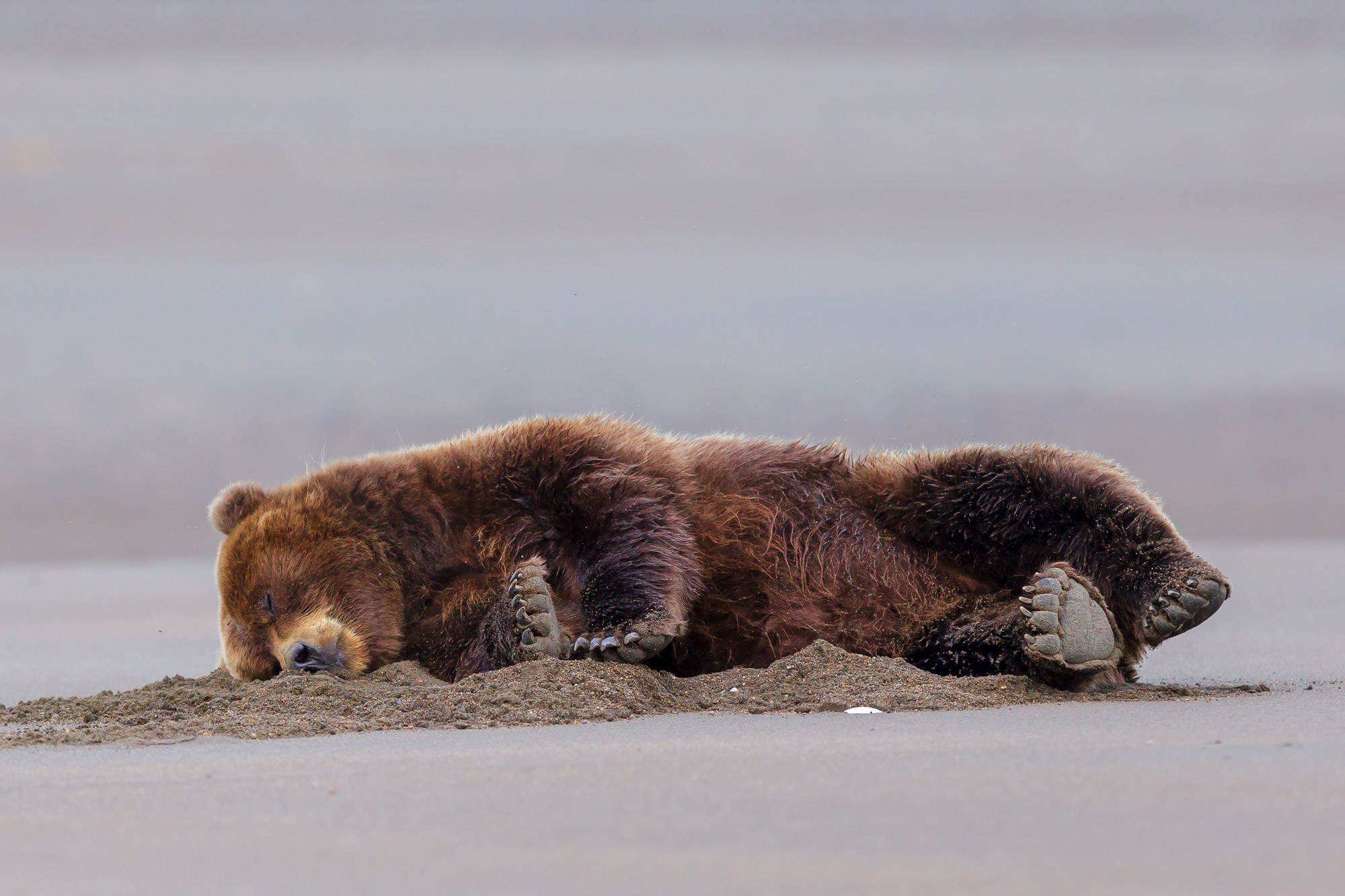 Grizzly Bear Fine Art Photography A Limited Edition photograph of a Grizzly Bear sleeping peacefully on the beach at Lake Clark...