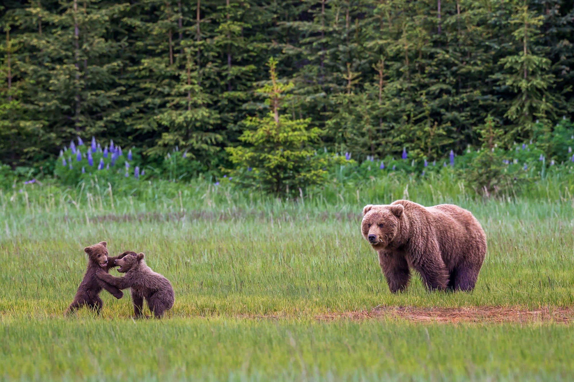 Bear, Brown Bear, Grizzly Bear, Cub, Alaska, photo