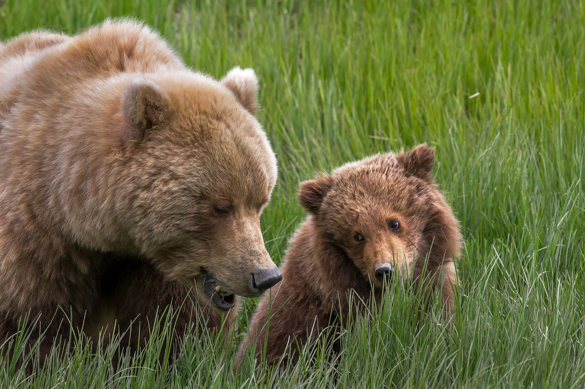 Bear, Brown Bear, Grizzly Bear, Cub, Alaska, photo