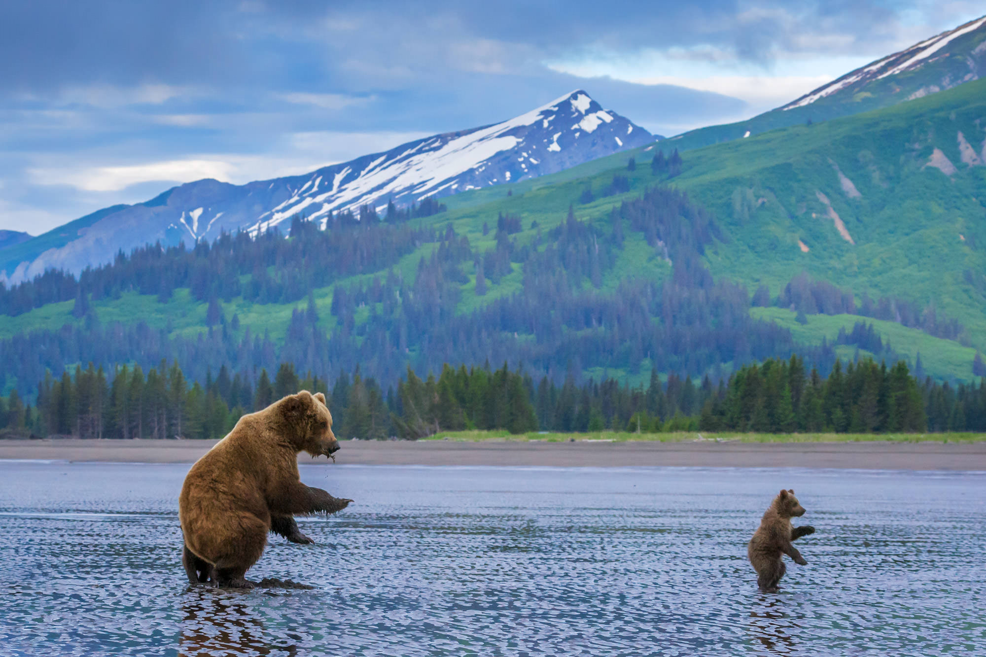 Grizzly Bear Fine Art Photography A Limited Edition photograph of a Grizzly Bear and her cub on the beach doing some Synchronized...