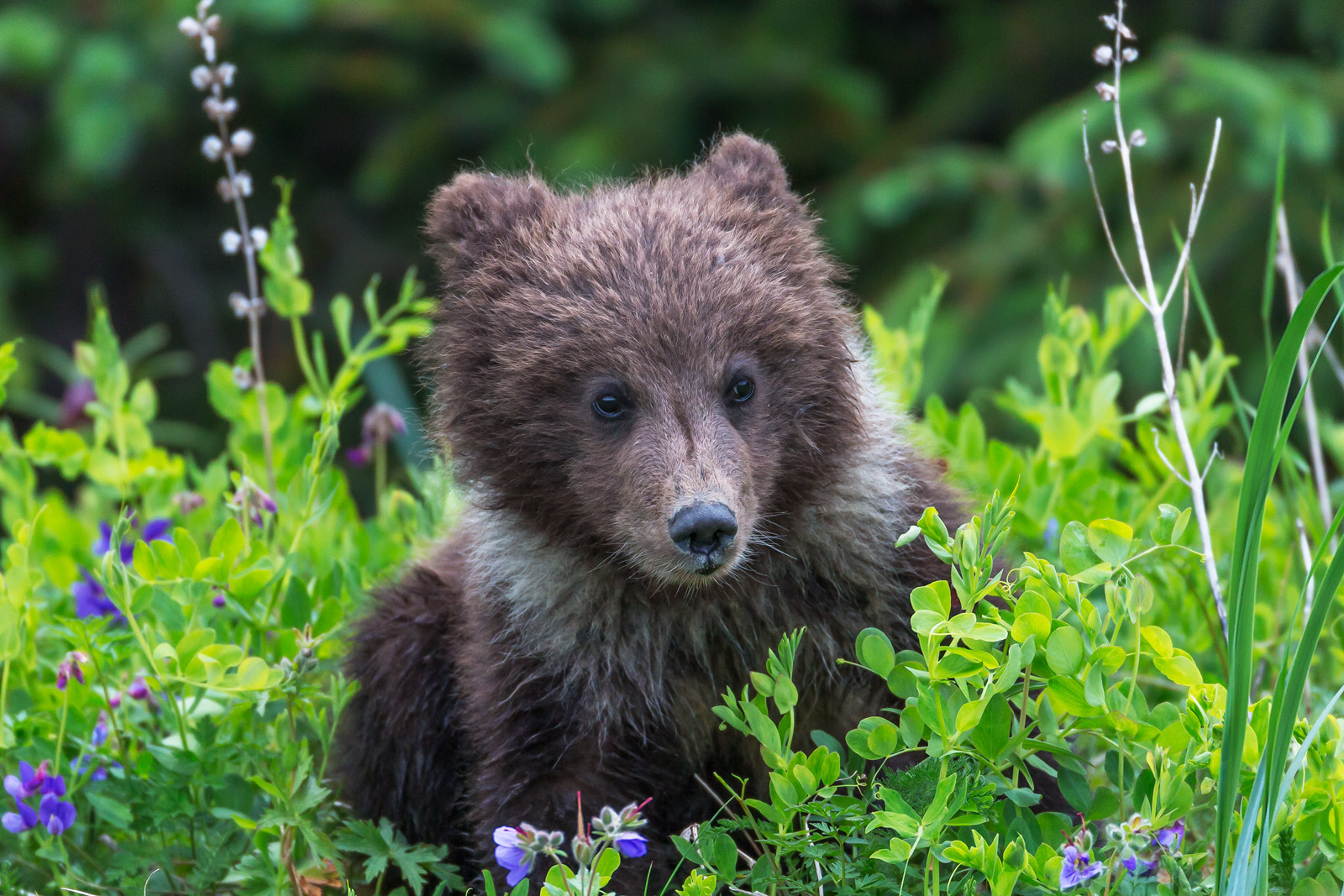 Bear, Brown Bear, Grizzly Bear, Cub, Alaksa, photo