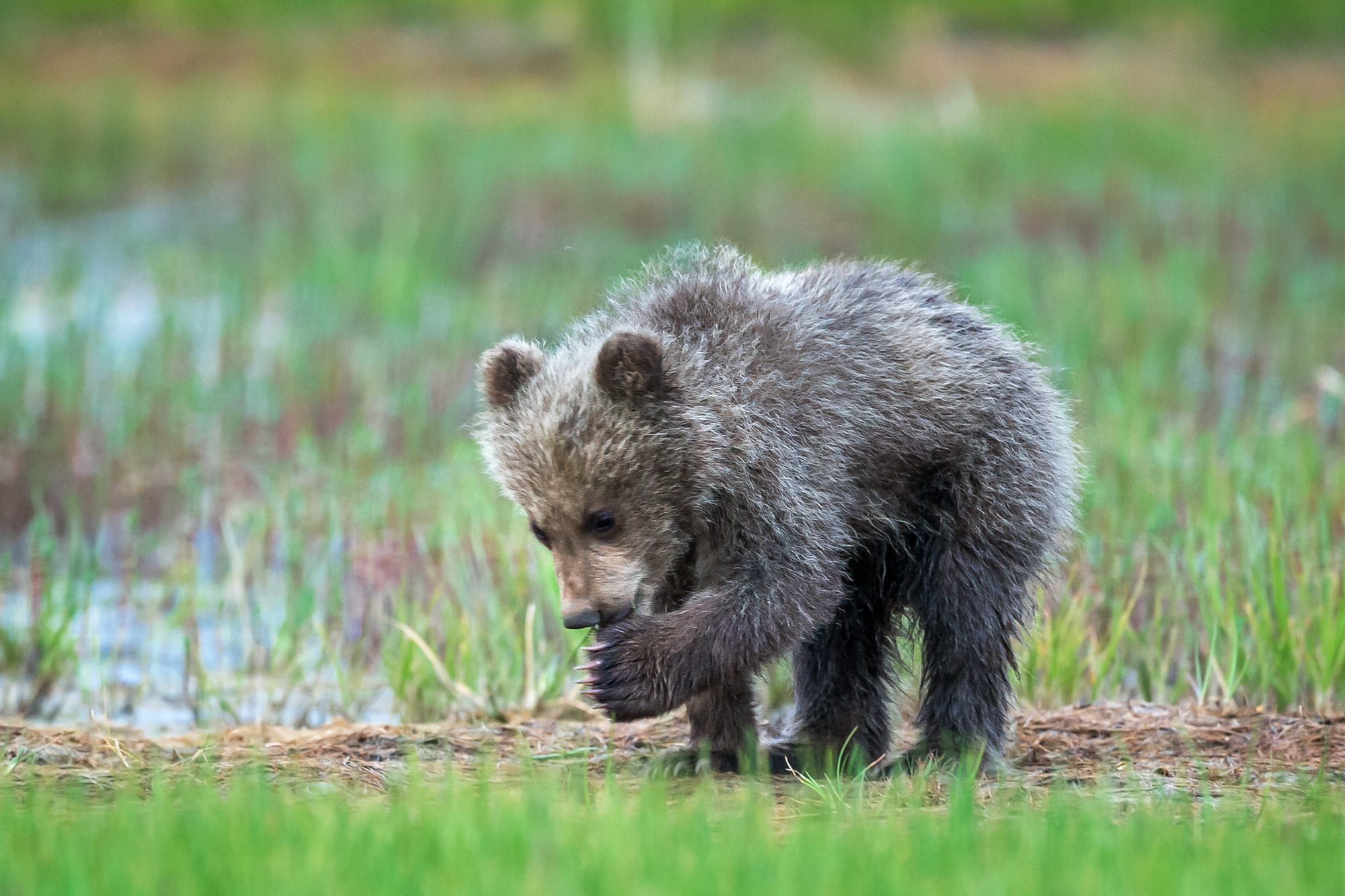 Bear, Brown Bear, Grizzly Bear, Cub, Alaska, limited edition, photograph, fine art, wildlife, photo