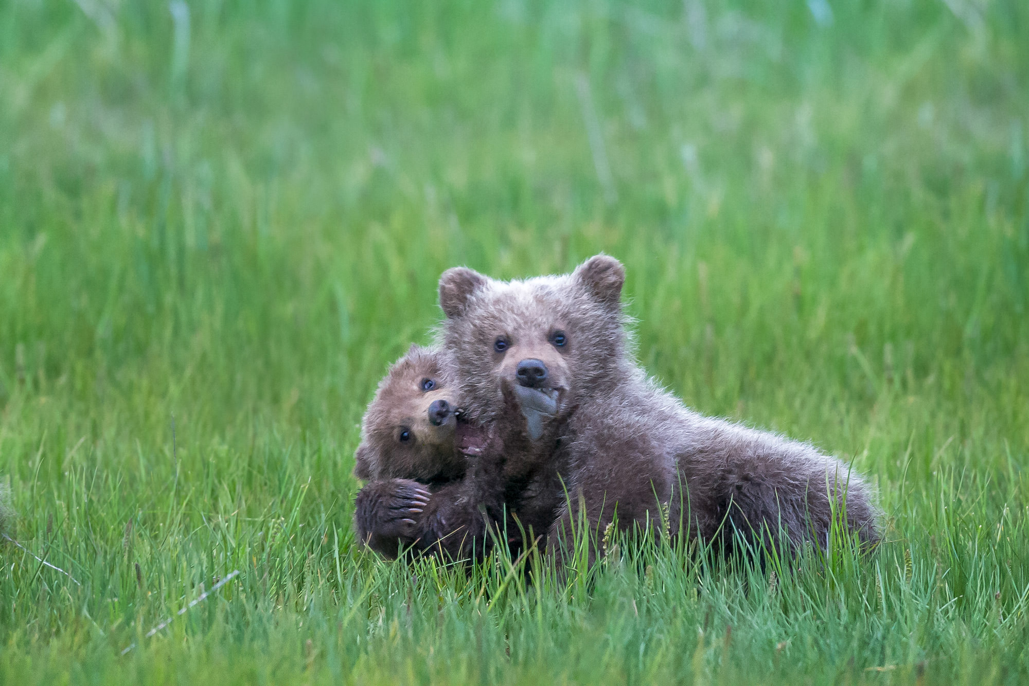 Bear, Brown Bear, Grizzly Bear, Cub, Alaksa, photo