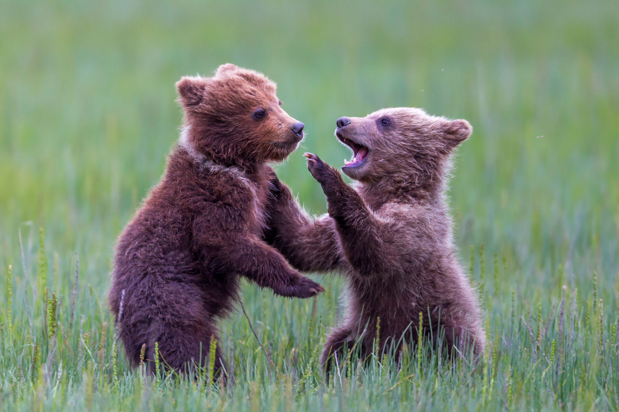 Grizzly Bear Fine Art Photography A Limited Edition photograph of two Grizzly Bear cubs play fighting in the grass at Lake Clark...
