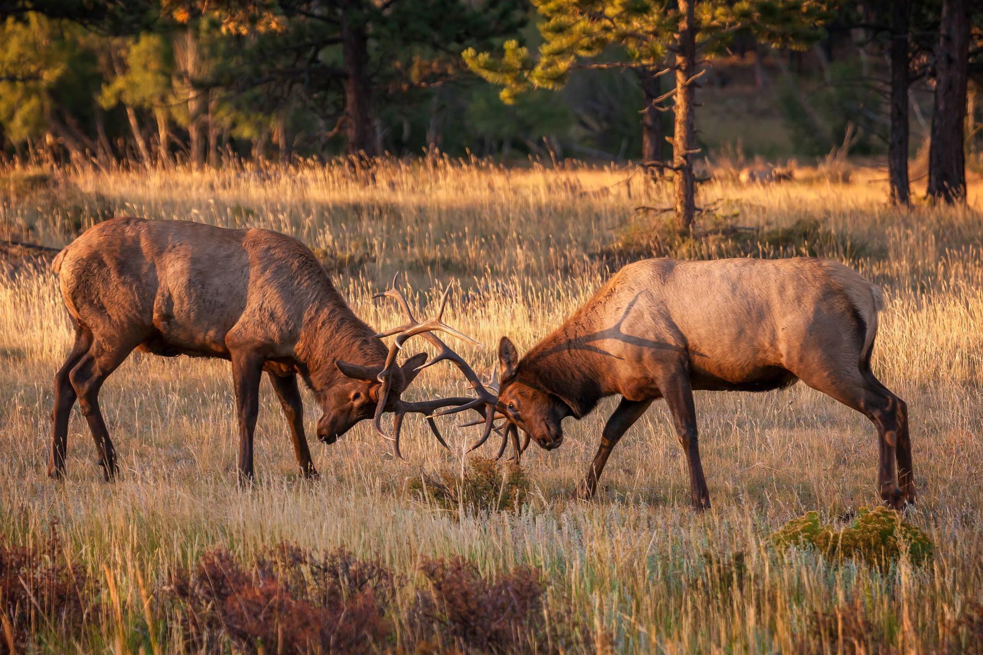 Elk, Bull Elk, Colorado, Rocky Mountain, National Park, limited edition, photograph, fine art, wildlife, photo