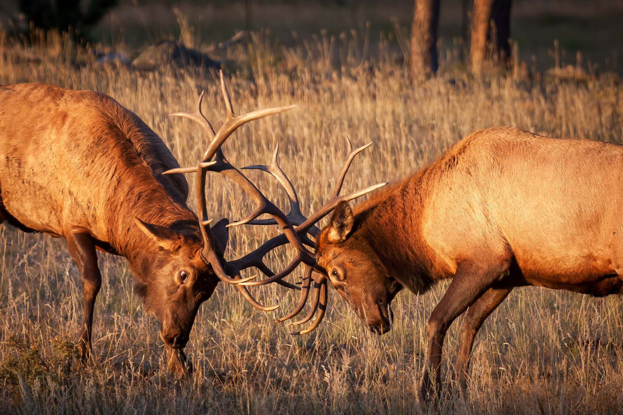 Elk Fine Art Photography A Limited Edition photograph of a little pushback from two young Bull Elk play fighting at Rocky Mountain...