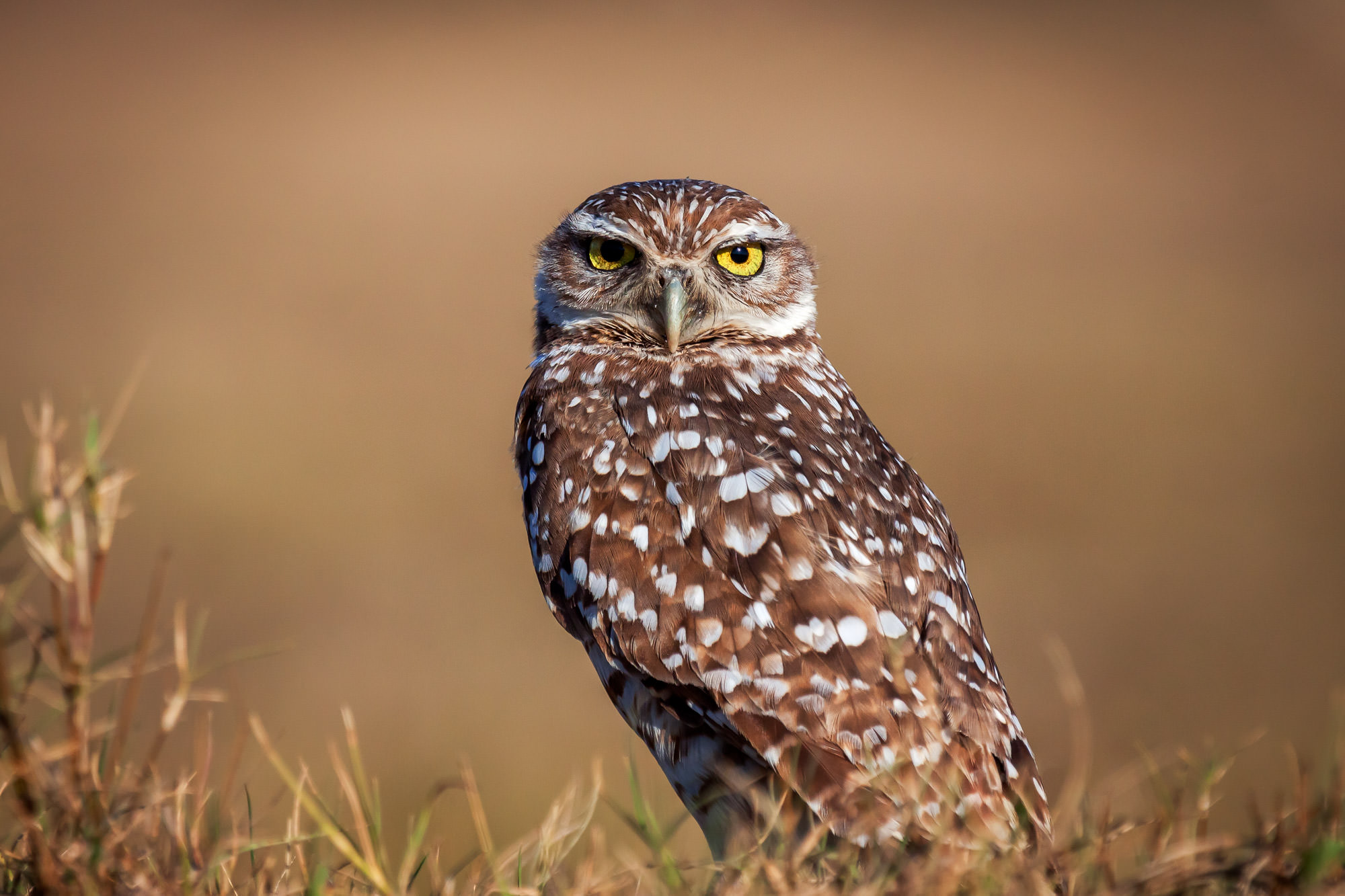 Owl, Burrowing Owl, Florida, photo