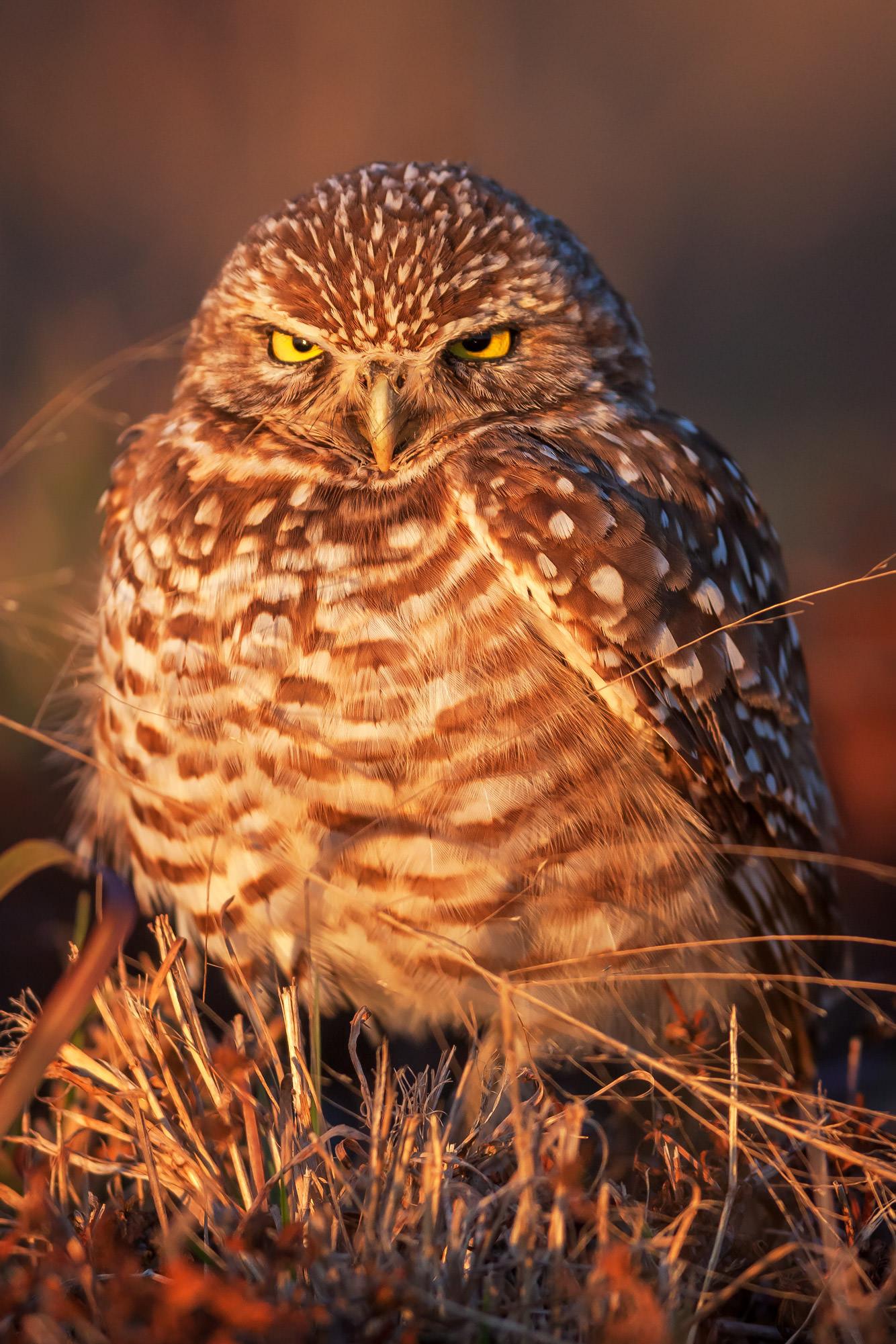 Owl, Burrowing Owl, Florida, photo