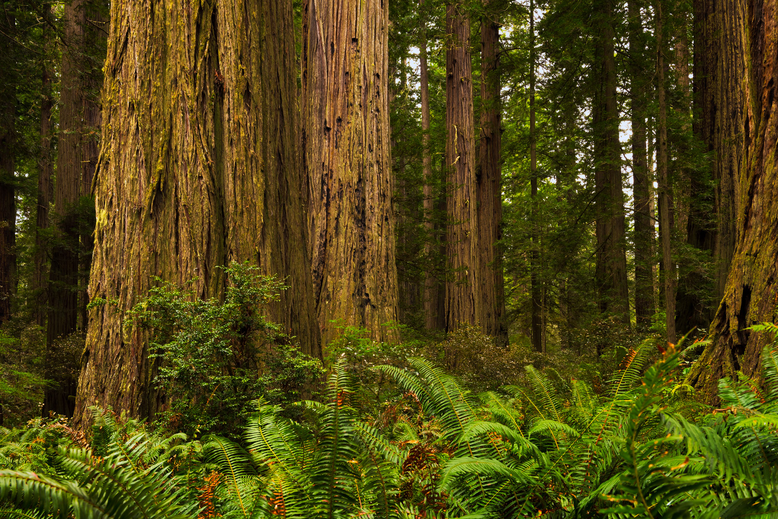 A Limited Edition, Fine Art photograph of the base of a mighty redwood tree surrounded by lush green foliage with ferns in Redwood...