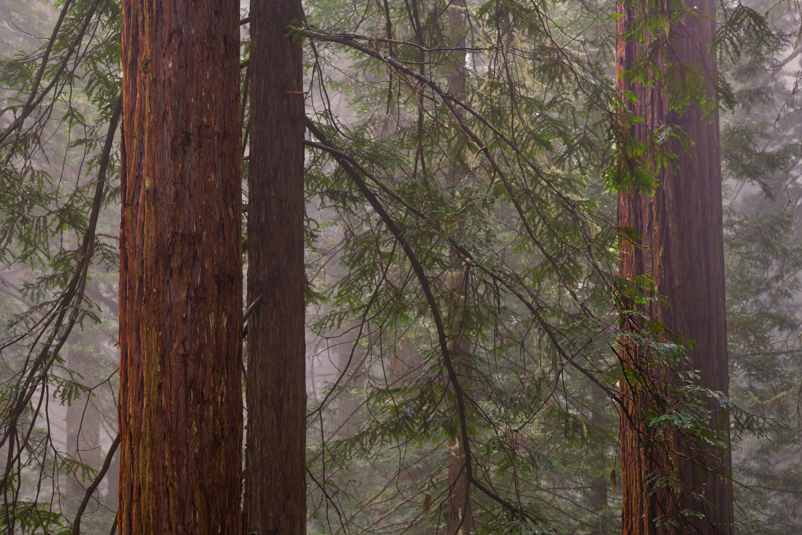 California, Redwood National Park, redwoods, fog, trees