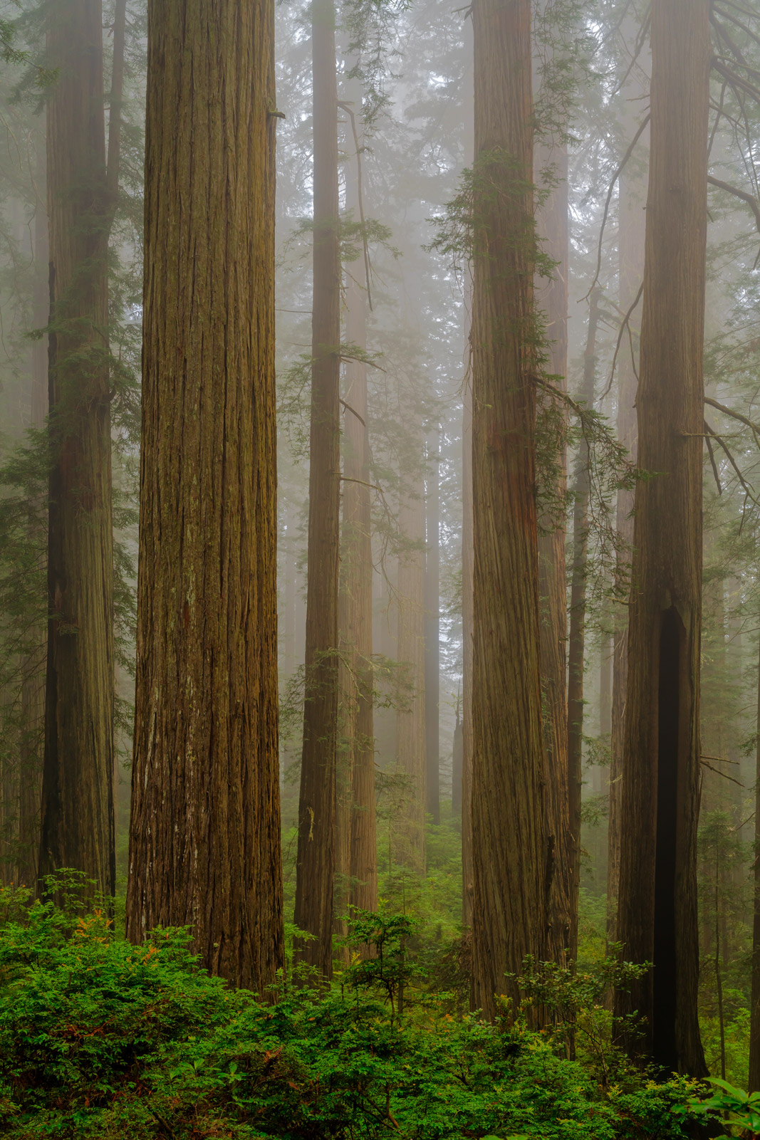 California, Del Norte, redwoods, fog