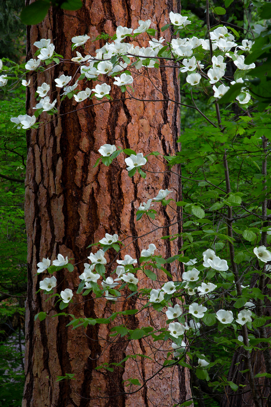 A Limited Edition, Fine Art photograph of Spring life evidenced by Dogwoods blooming around a pine tree in Yosemite National...