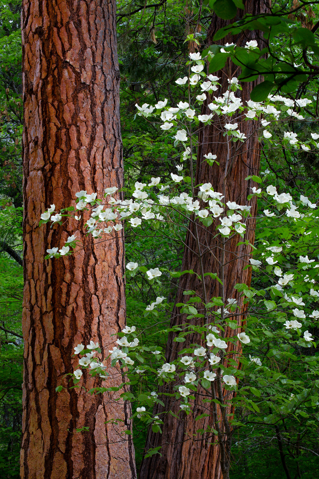 California, Yosemite, Dogwood, Flowers