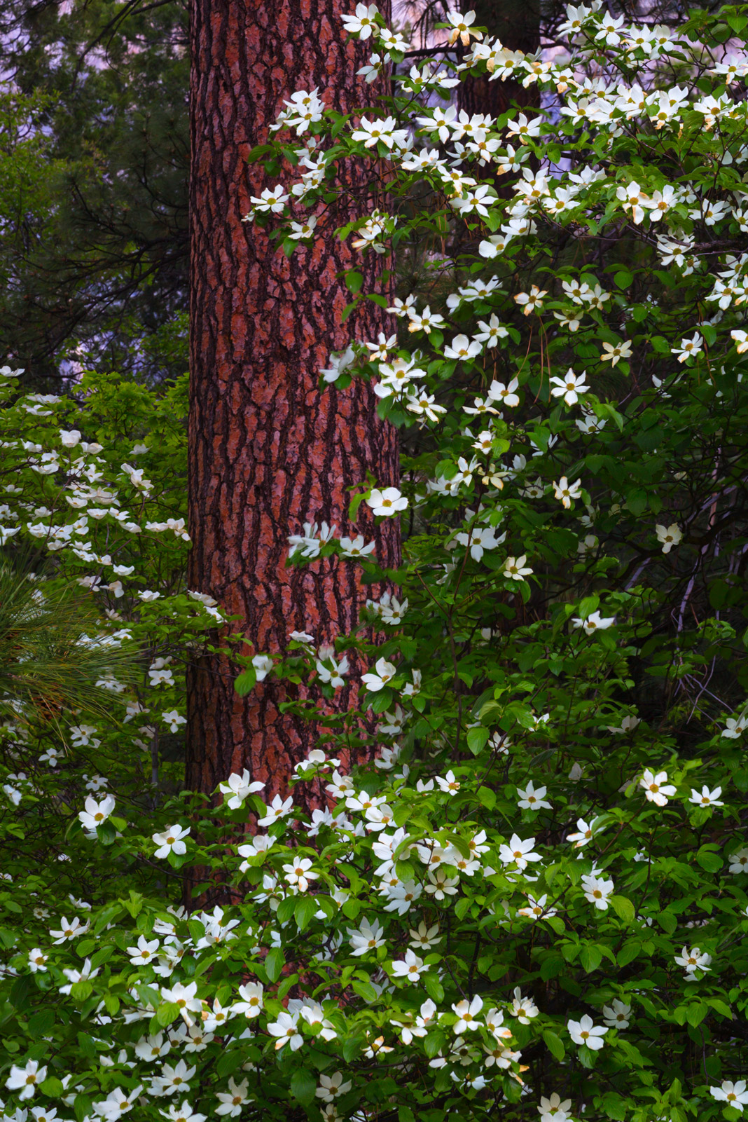 A Limited Edition photograph of Yosemite National Park showing the signs of Spring with Dogwood flowers blooming around a pine...