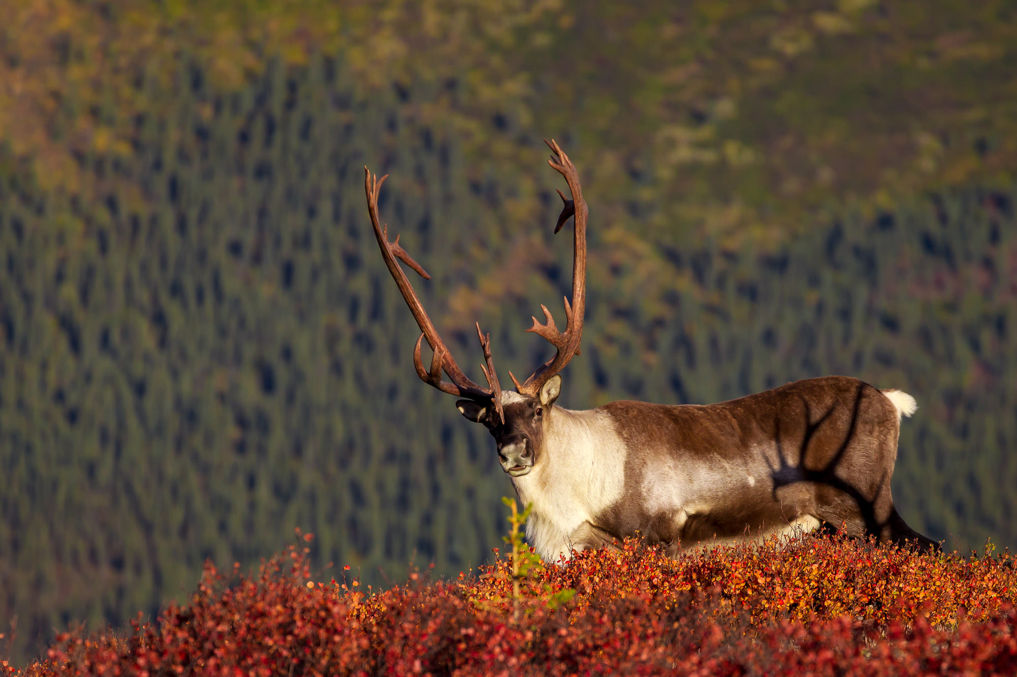Caribou Fine Art Photography A Limited Edition photograph of a Caribou and the shadow from it's huge Antlers at Denali National...