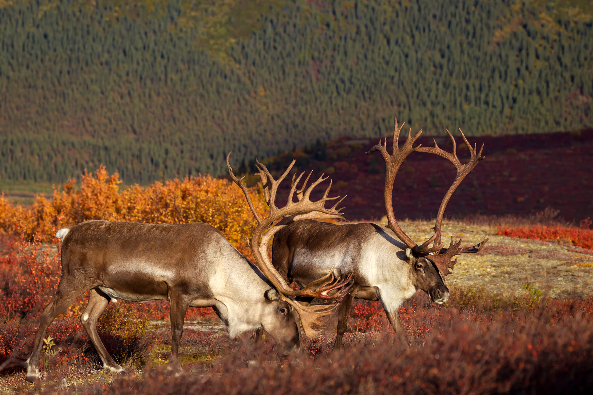Caribou Fine Art Photography A Limited Edition photograph of two Caribou that are quite the pair standing in the fall color at...