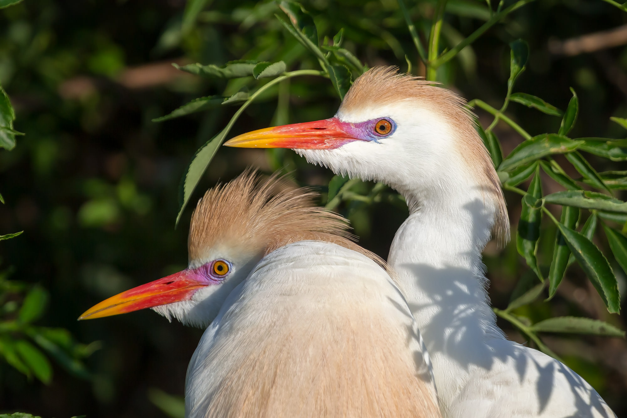 Egret, Cattle Egret, Florida, photo