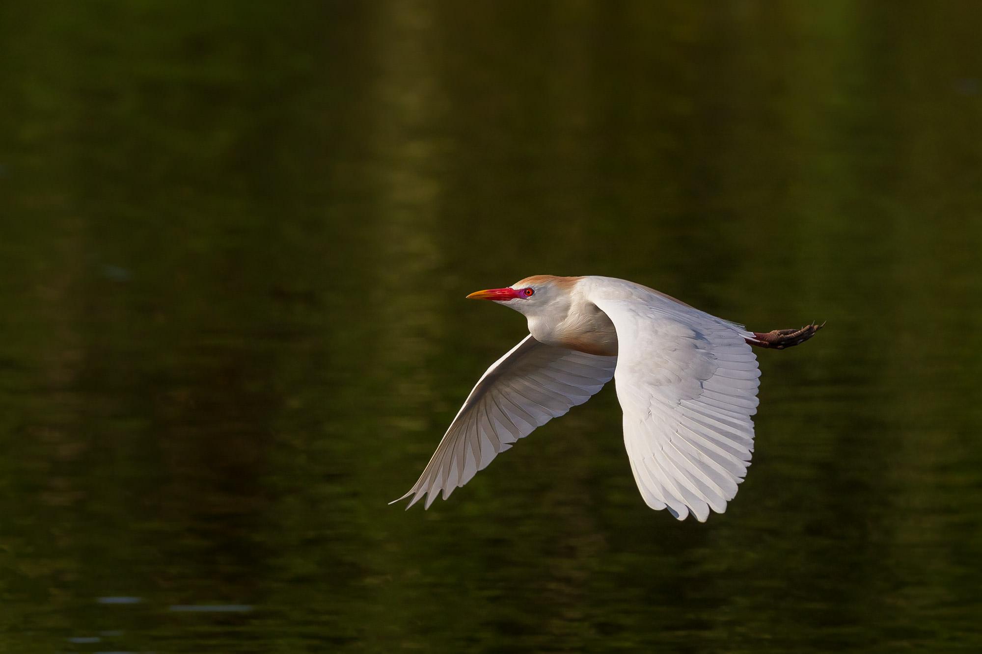 Egret, Cattle Egret, Florida, photo