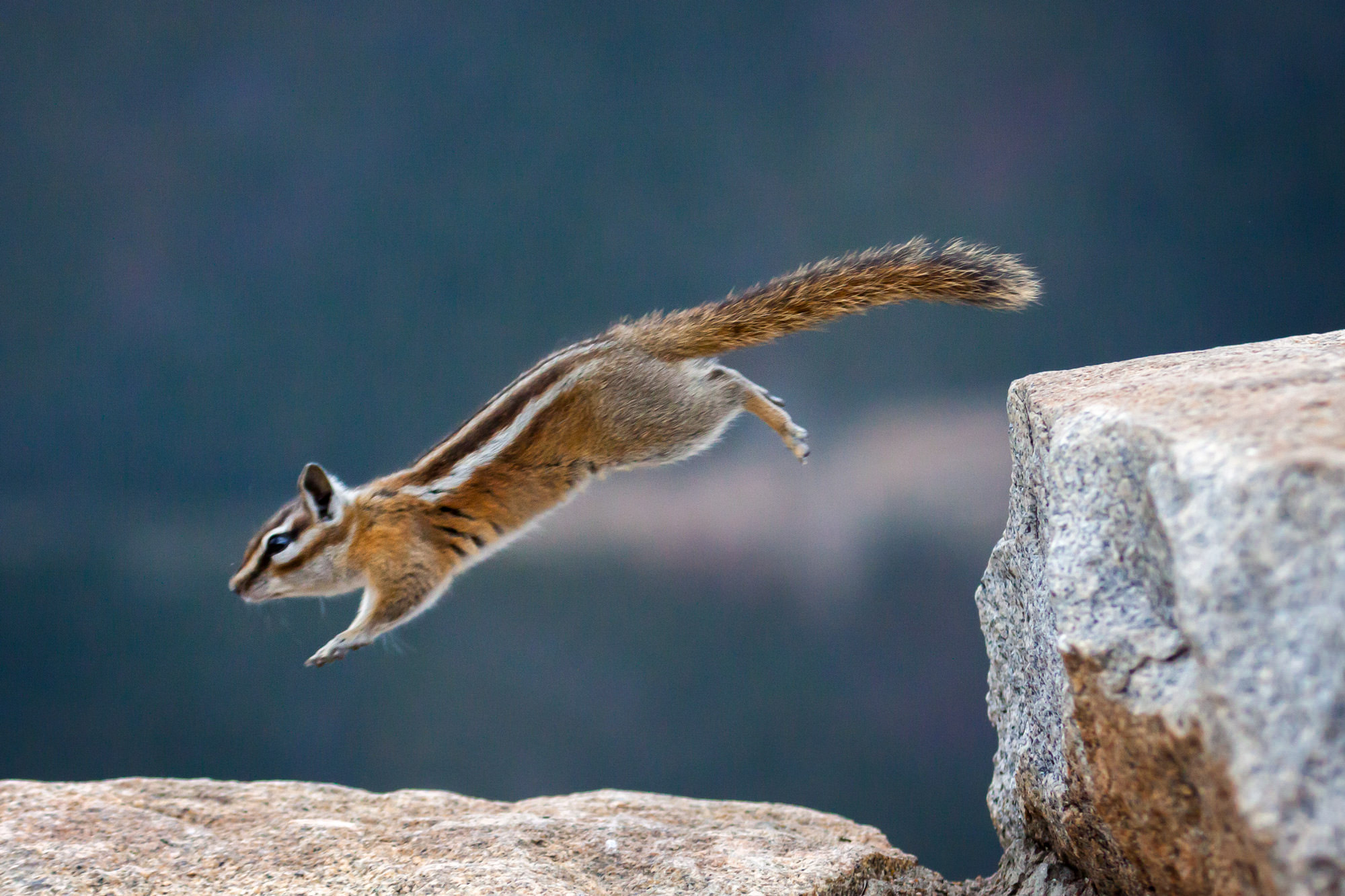 Chipmunk Fine Art Photography A Limited Edition photograph of a Chipmunk making a leap of faith on the rocks at Rocky Mountain...