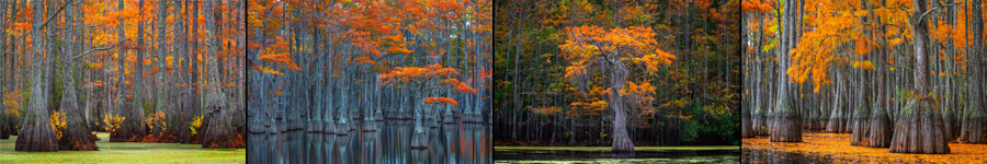 Cypress Tree and Cypress Swamp Landscape Photography