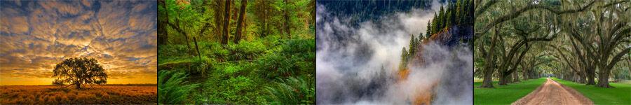 Tree Photography Oak Trees Redwood Trees