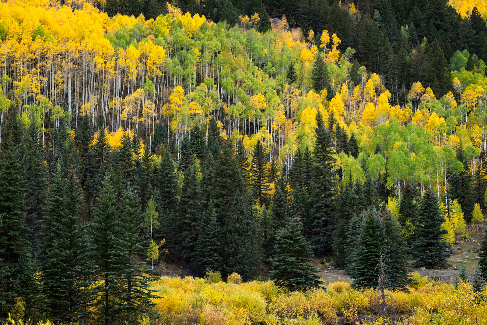 Colorado, fall, Telluride, trees, aspen, color