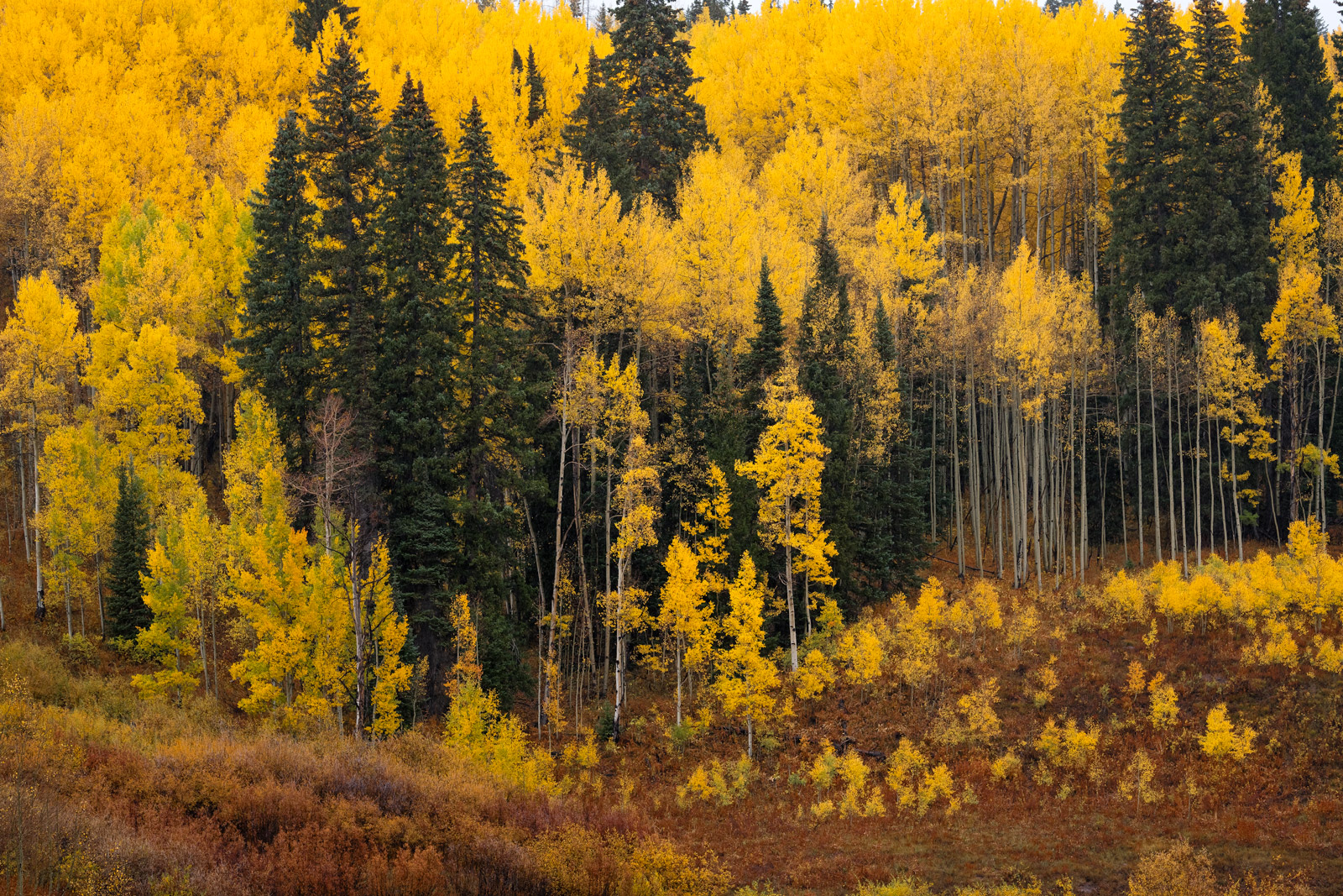 Colorado, Fall, Color, Crested Butte, Ridgway, Telluride, Aspen, Tree, photo