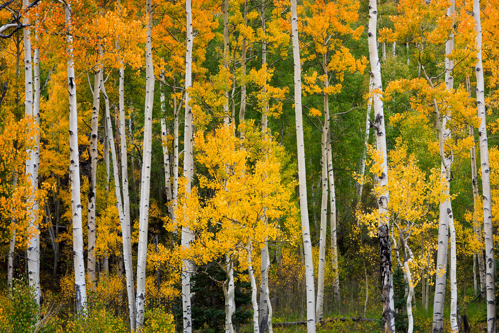 Colorado, Aspen, Trees, Fall, Color, southwest Colorado, fall color, photo