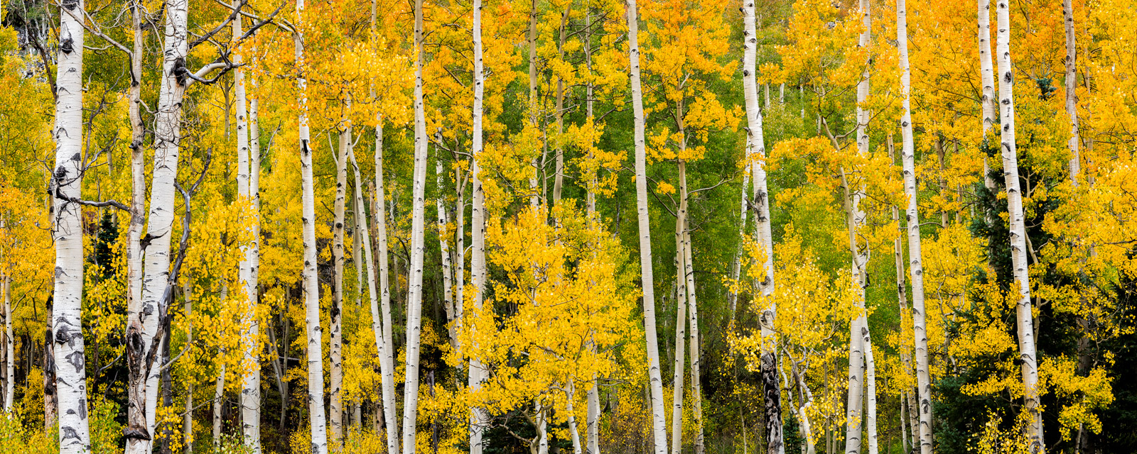 Colorado, Fall, Aspen, Trees