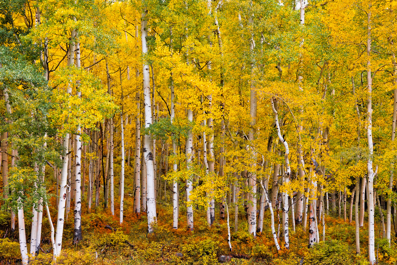 A Limited Edition, Fine Art photograph of Aspen trees in the fall showing off their fall colors above a colorful ground cover...