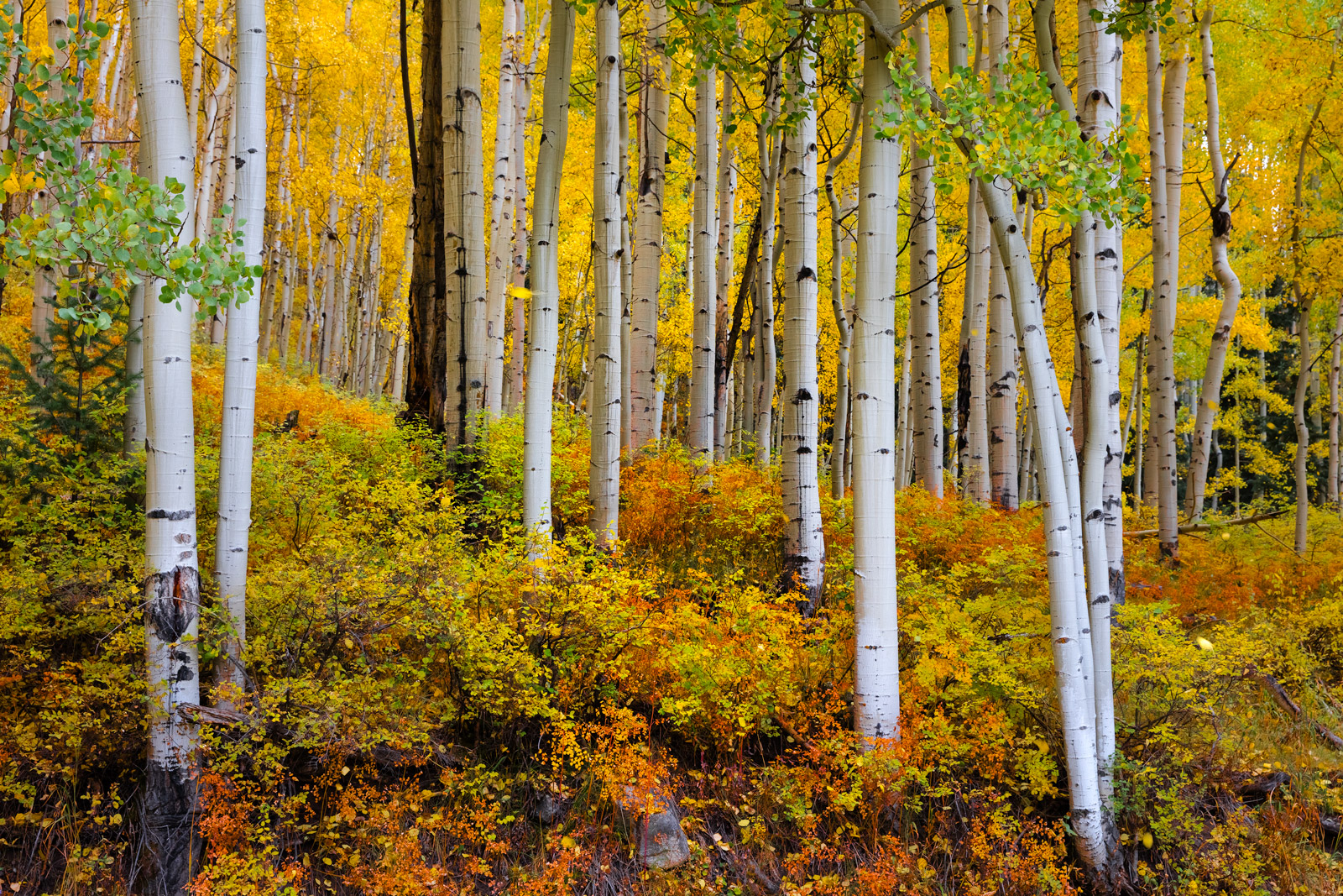 Colorado, Aspen, Trees, Fall