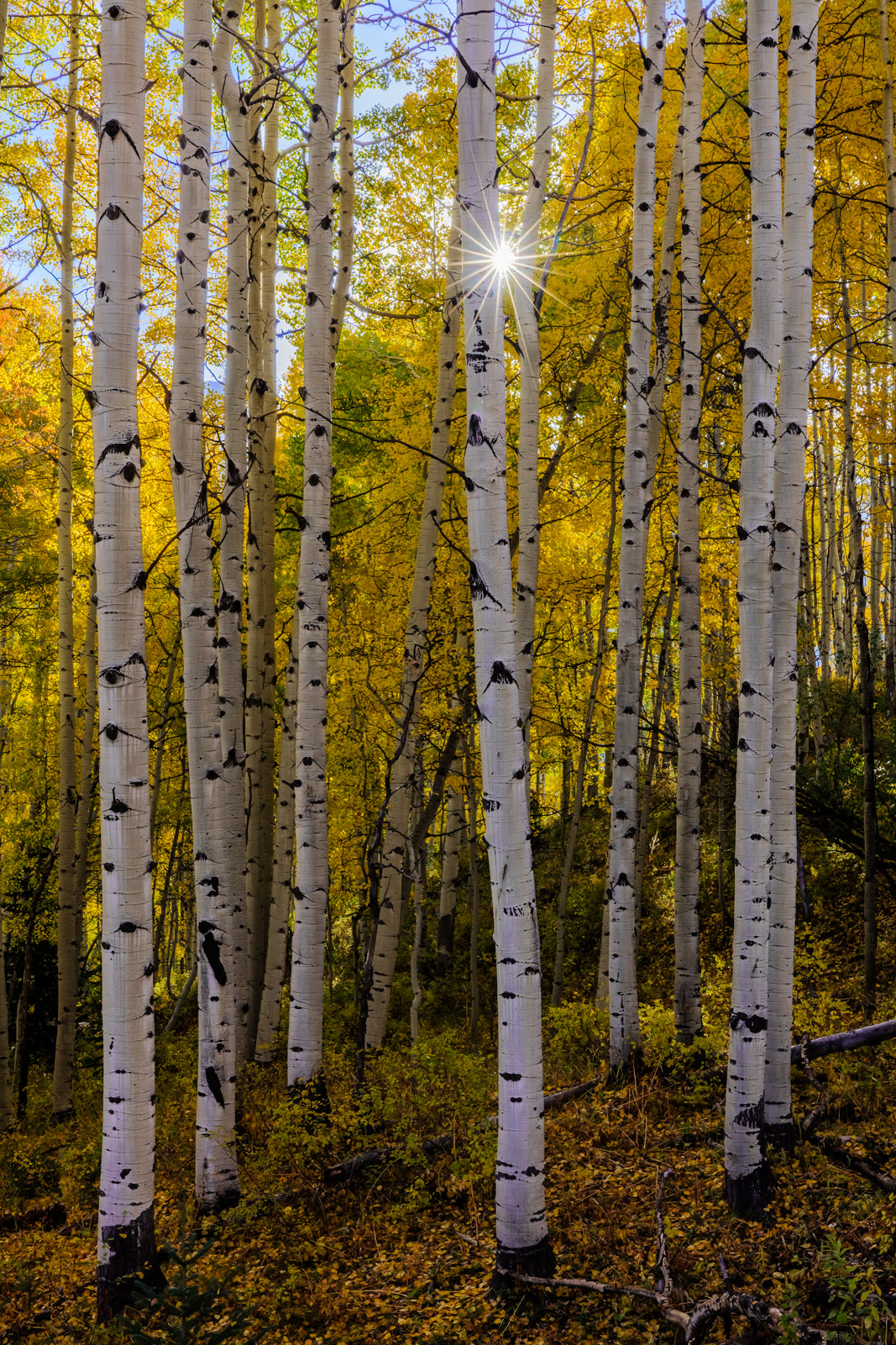 A Limited Edition, Fine Art photograph of the sun bursting through white aspen trees with fall color in Crested Butte, Southwest...