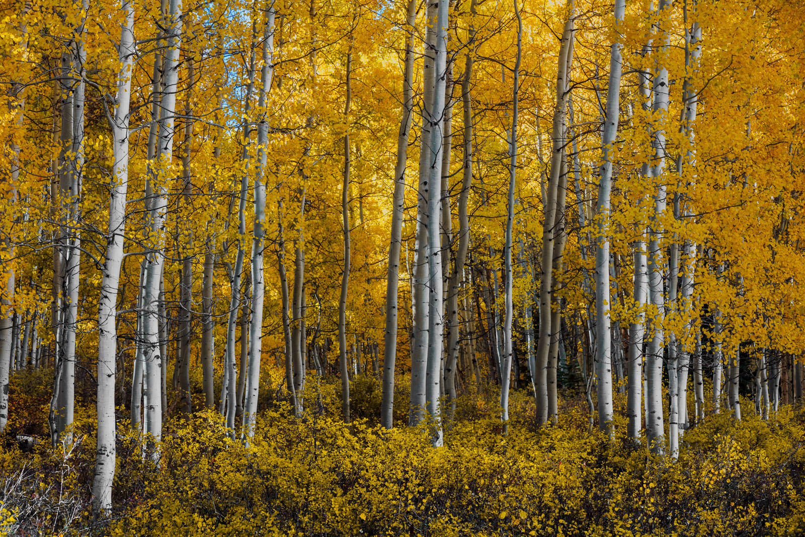 Colorado, Aspen, Trees, Fall, Color, Crested Butte, limited edition, photograph, southwest colorado, fine art, landscape, fall color, photo