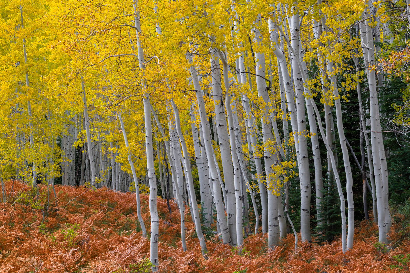 Colorado, Crested Butte, Aspen, Trees, Fall, Color, photo