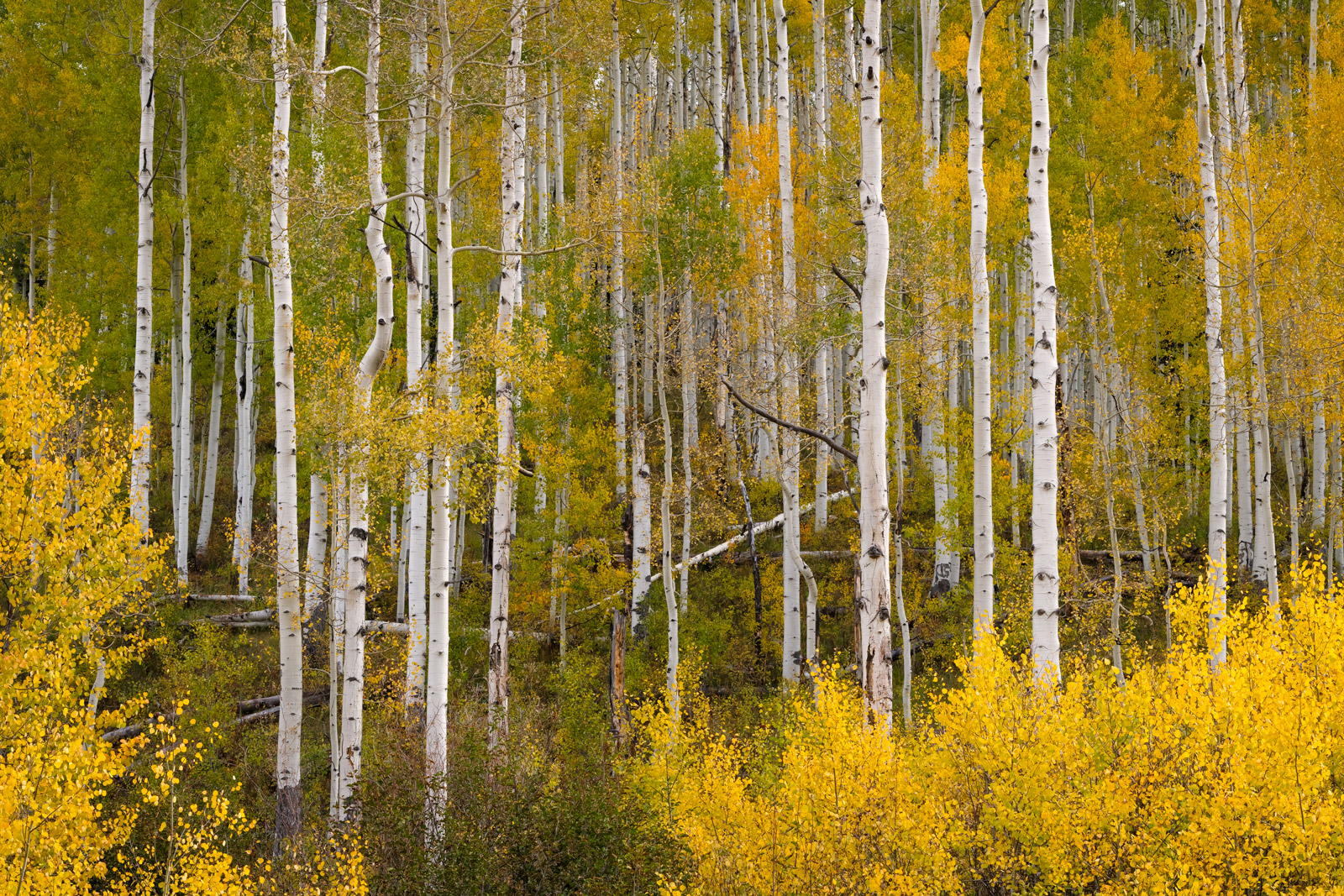 A Limited Edition, Fine Art photograph of Colorado Fall Color with Aspen trees that seemed to be endless in the fall near Crested...
