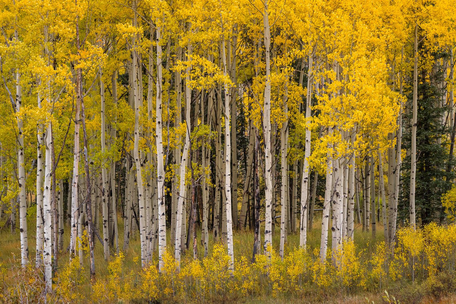 Colorado, Aspen, Trees, Fall, Color, limited edition, photograph, southwest colorado, fine art, landscape, fall color, photo