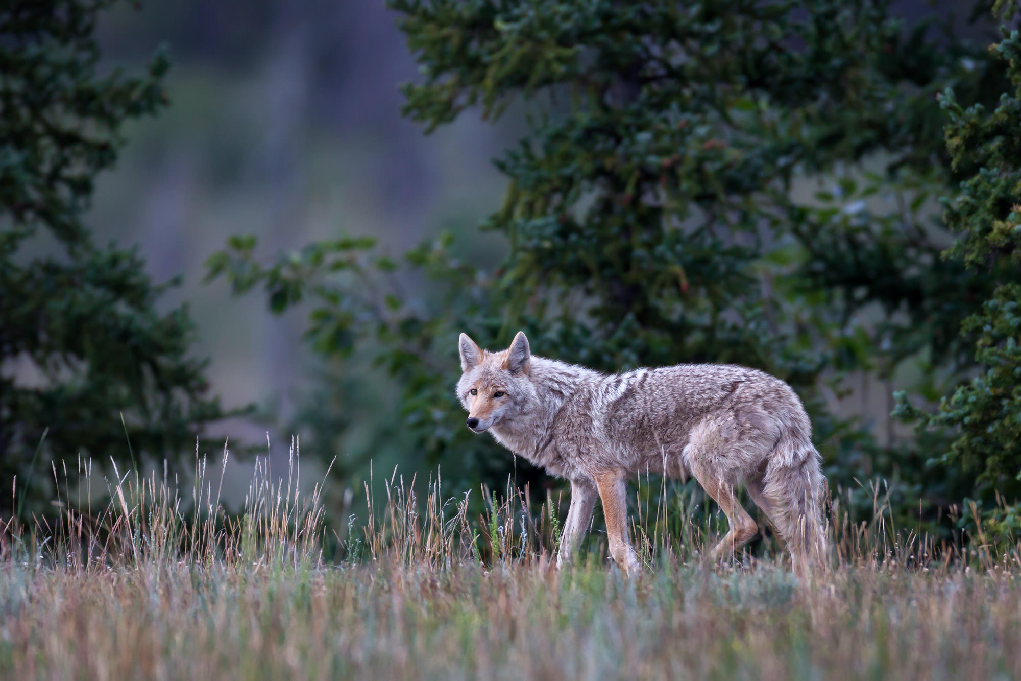 Coyote, Winter, Jasper, National Park, Canada, limited edition, photograph, fine art, wildlife, photo