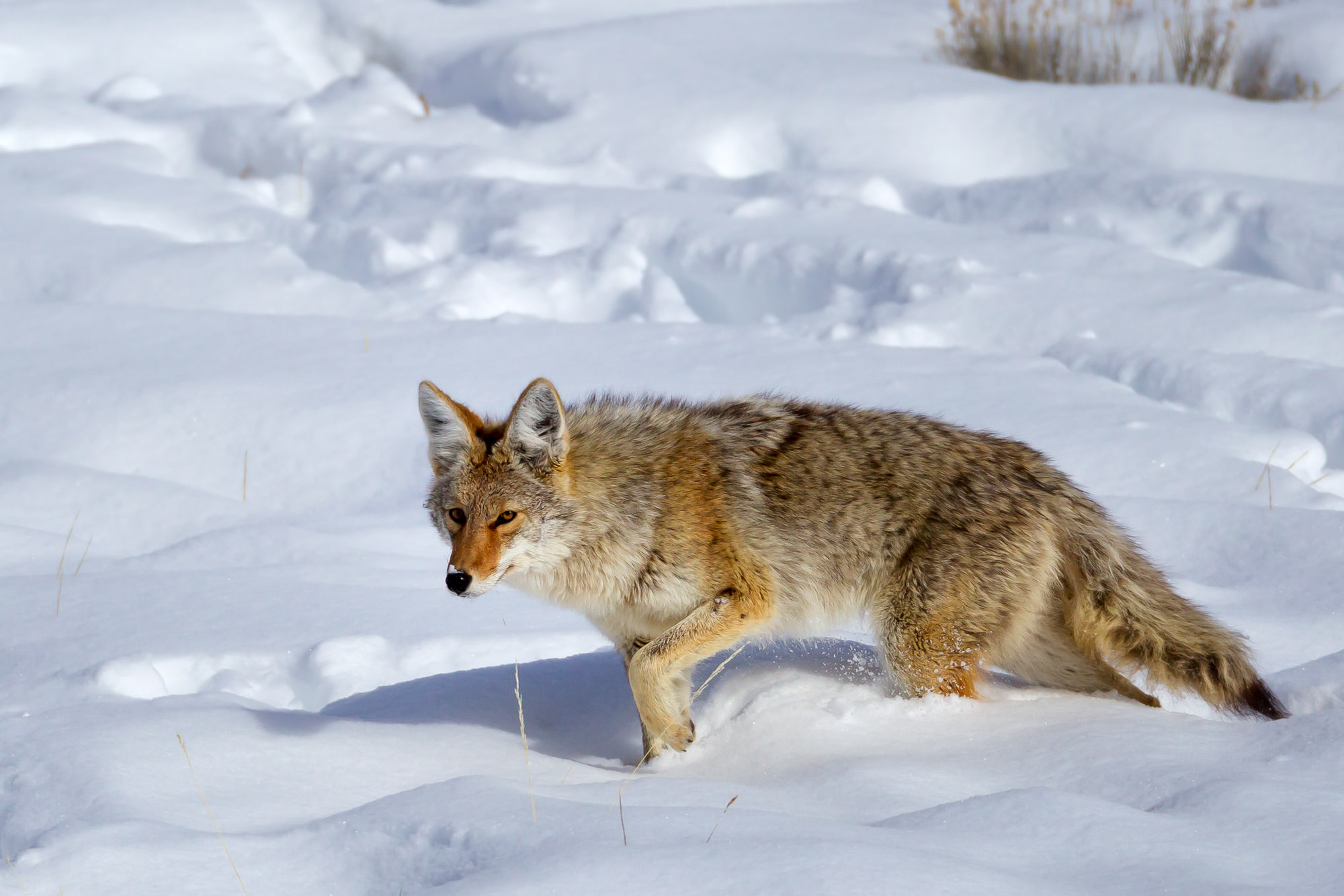 Coyote Fine Art Photography A Limited Edition photograph of a Coyote getting through the deep snow at Yellowstone National Park...