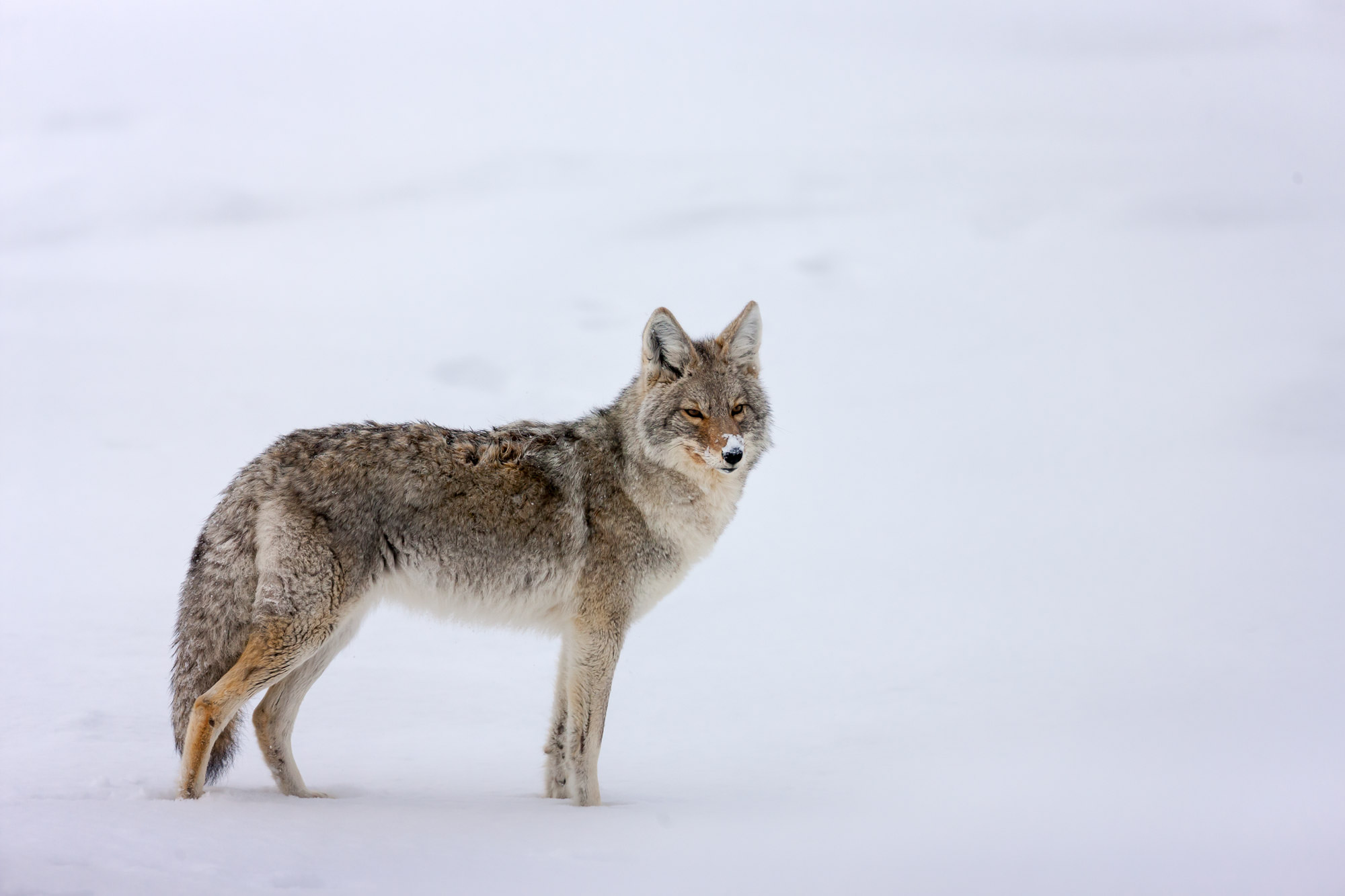 Coyote Fine Art Photography A Limited Edition photograph of a Coyote in winter with snow on it's nose at Yellowstone National...