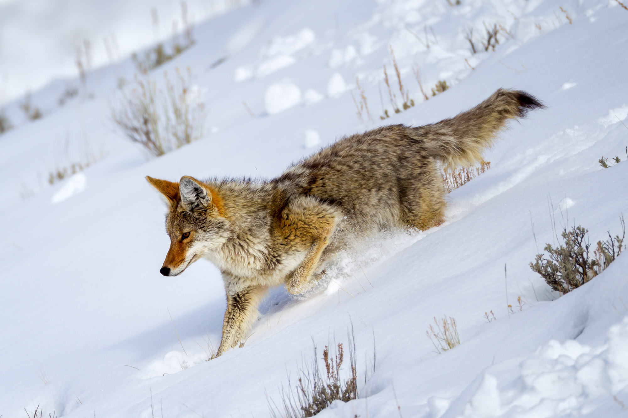 Coyote Fine Art Photography A Limited Edition photograph of a Coyote going downhill with momentum in the deep snow in Yellowstone...