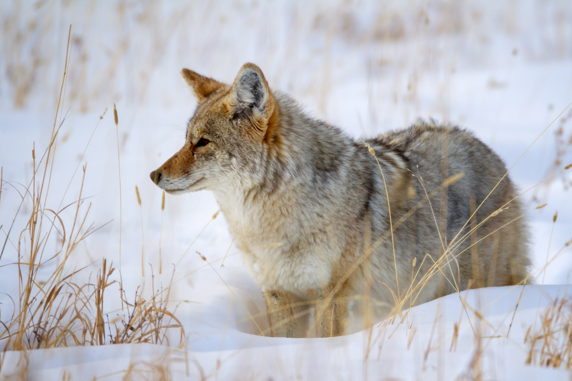 Coyote Fine Art Photography A Limited Edition photograph of a Coyote in the deep snow with it's eye on the target at Yellowstone...