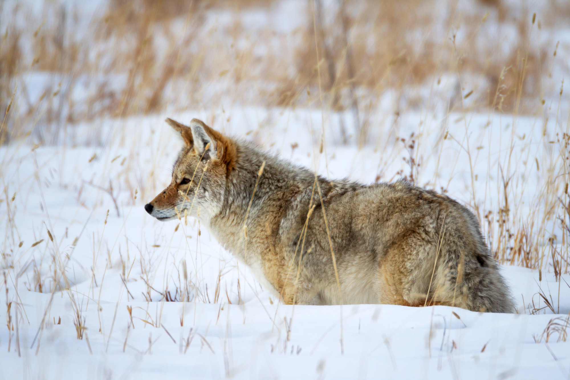 Coyote, Winter, Yellowstone, Wyoming, National Park, limited edition, photograph, fine art, wildlife, photo