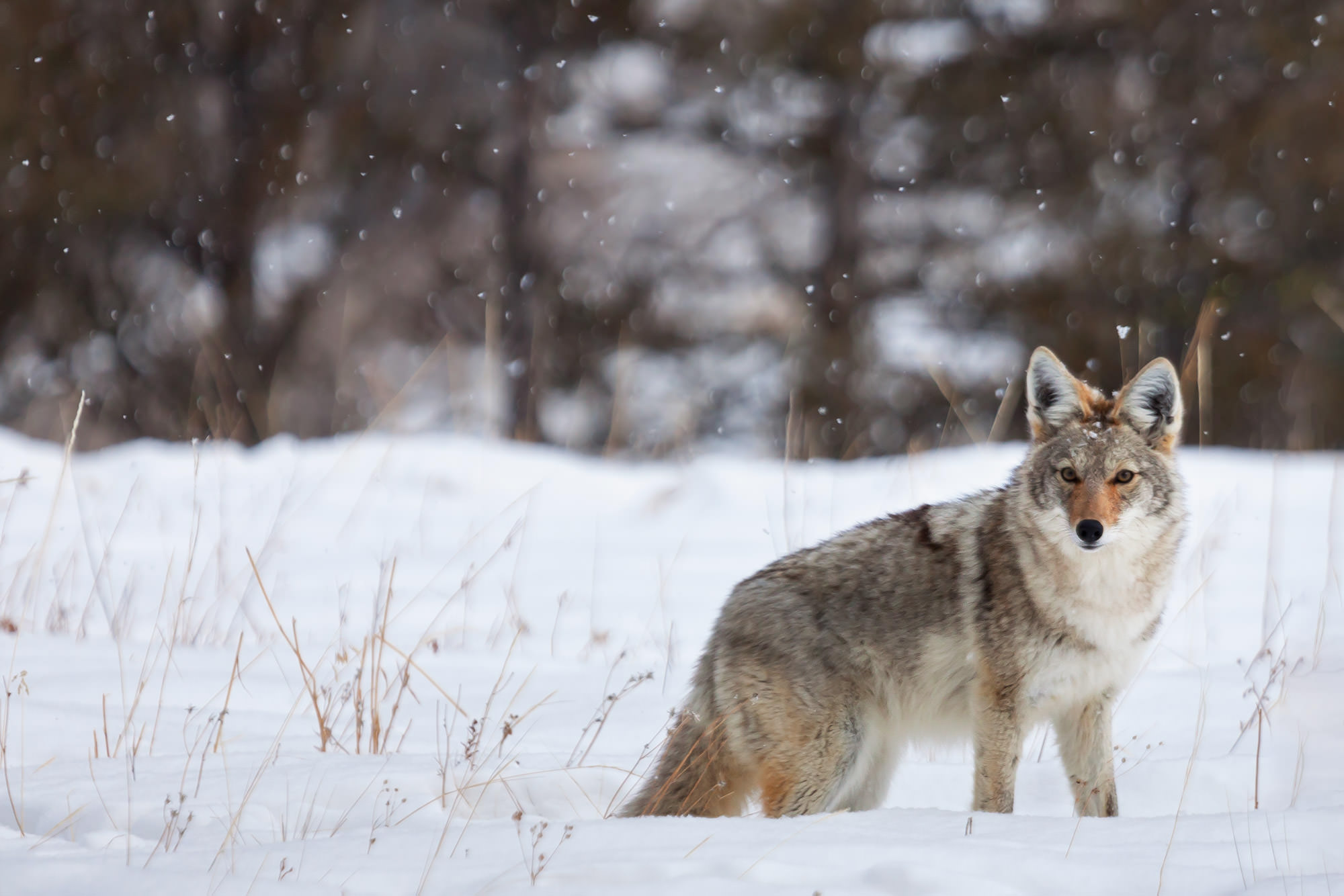 Coyote Fine Art Photography A Limited Edition photograph of a Coyote standing in the falling snow at Yellowstone National Park...