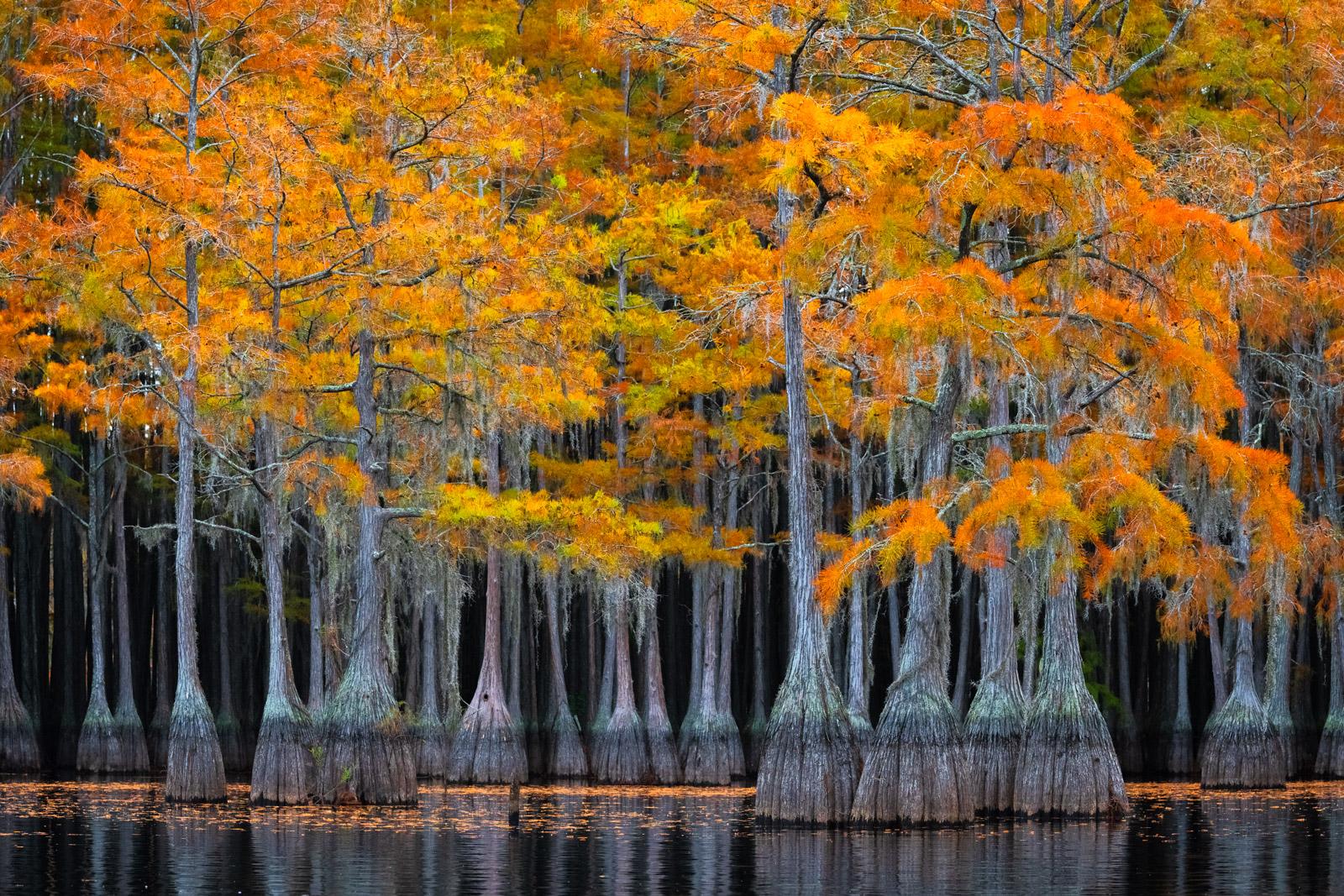 Georgia, Cypress, Swamp, Trees, Fall Colors, photo
