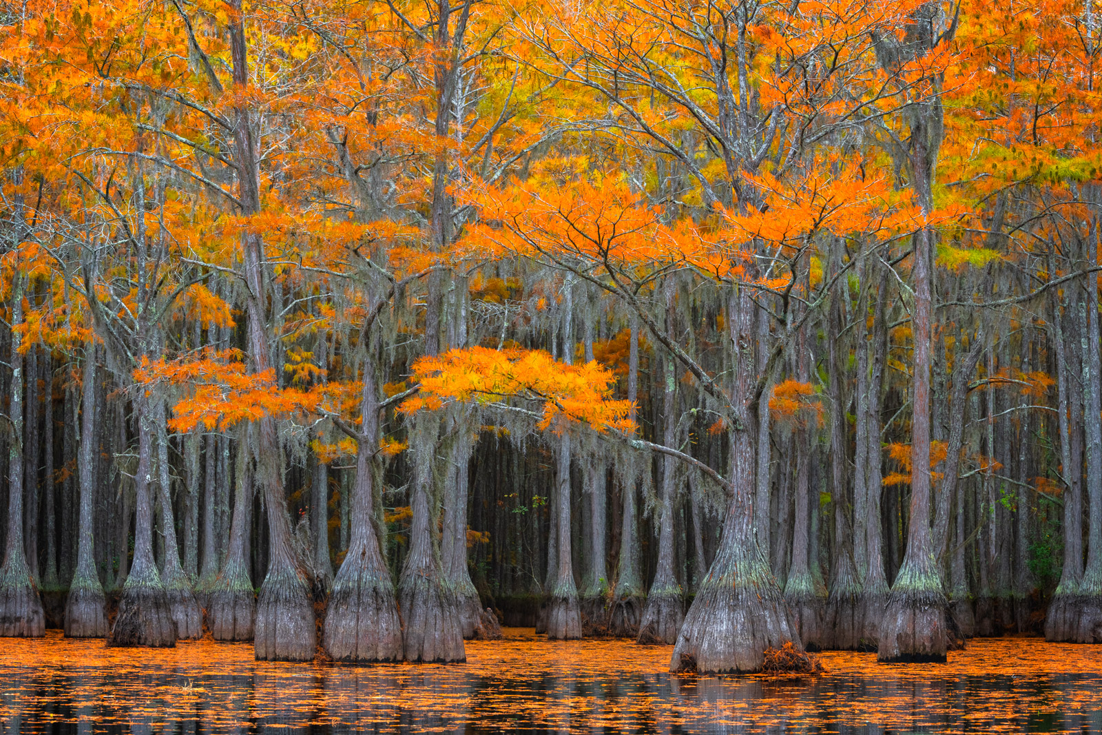 Georgia, Cypress, Tree, Swamp, Lake, Fall Color, photo