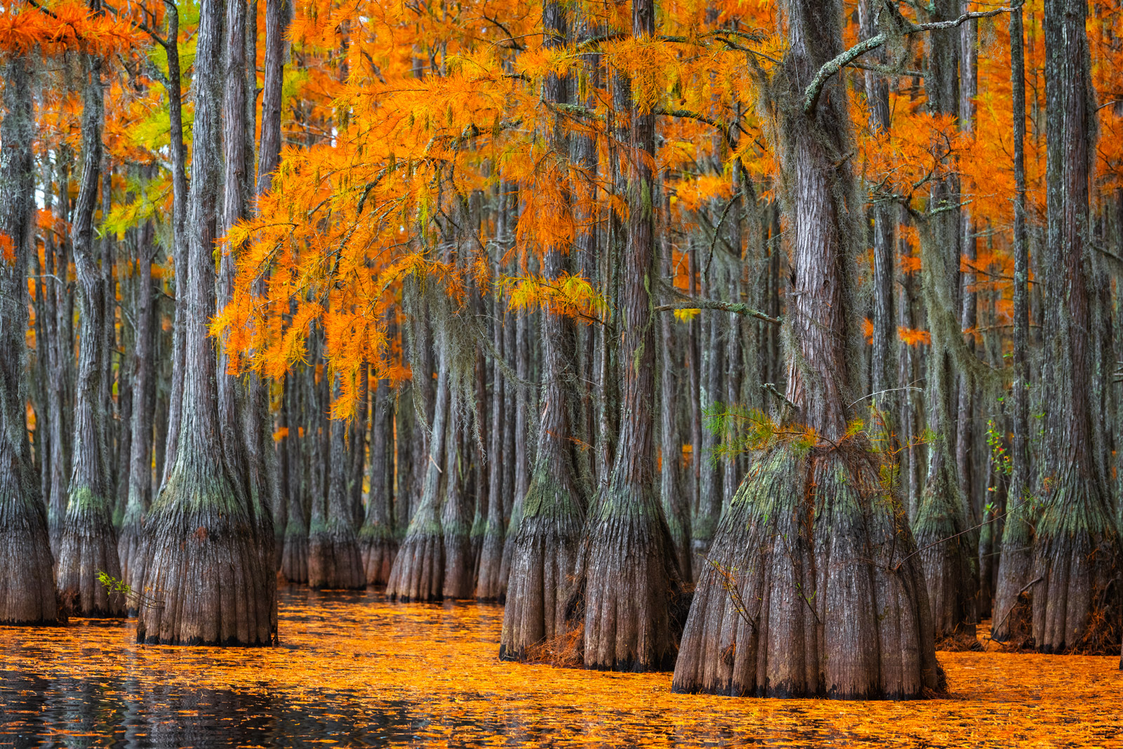 Georgia, Cypress, Tree, Cypress Swamp, Fall Colors, photo